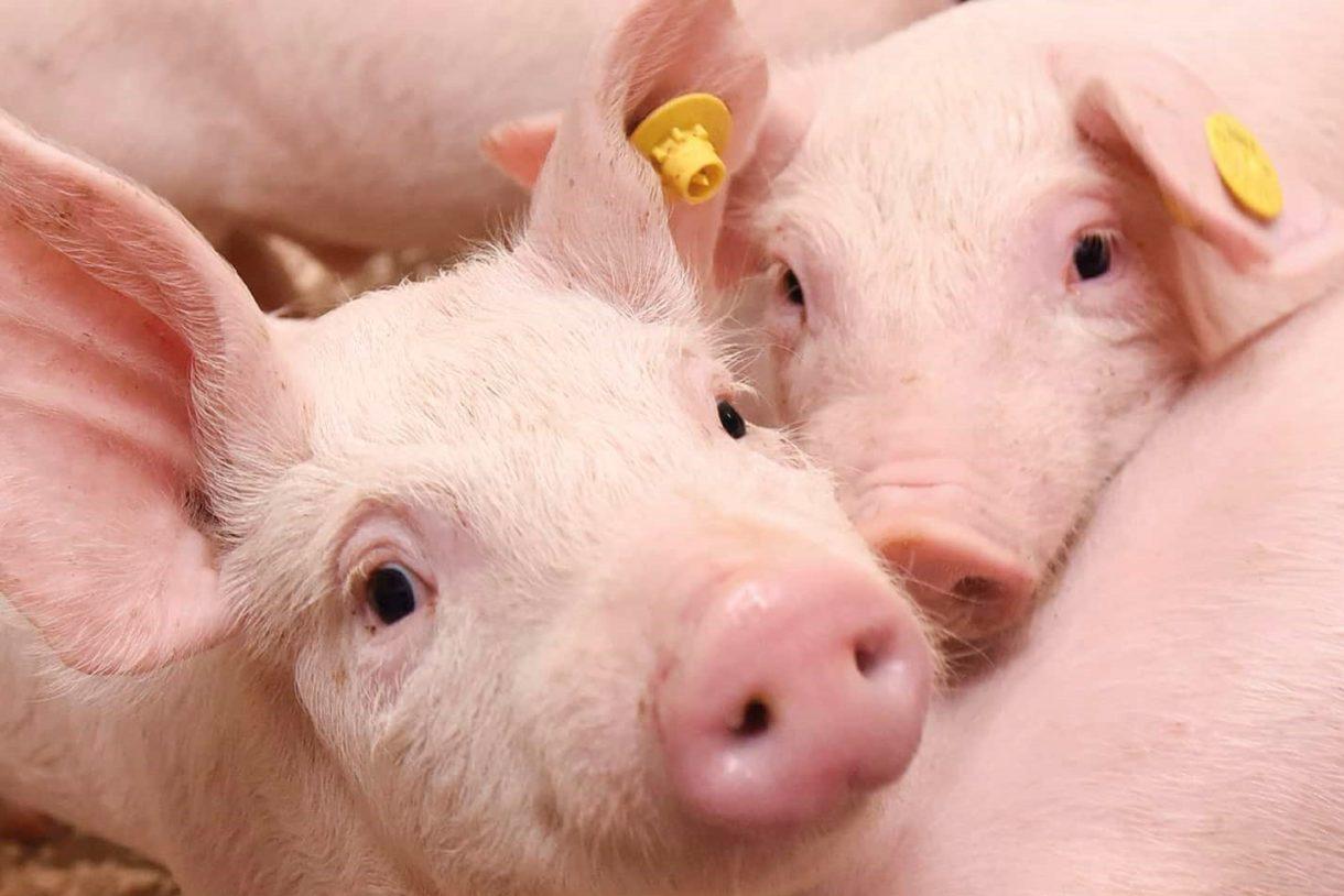 Varkensbedrijf Kees van der Meijden
